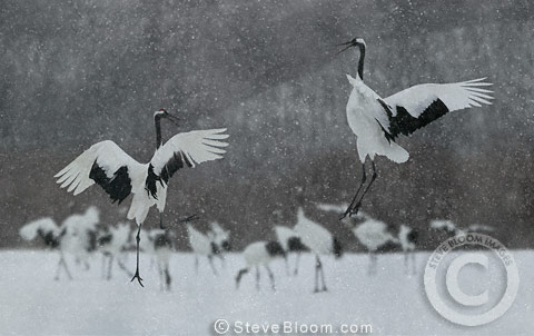 Two Japanese (red-crowned) Cranes leaping in dance, Hokkaido Island, Japan.