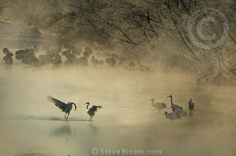 Japanese (red-crowned) Crane bowing to his mate, Hokkaido Island, Japan.