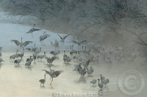 Japanese (red-crowned) Cranes dancing in the morning mist, Hokkaido Island, Japan.