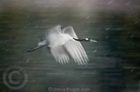 Japanese (red-crowned) Crane in flight, Hokkaido Island, Japan.