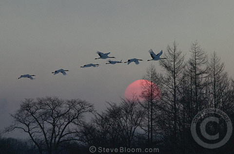 Japanese (red-crowned) Cranes flying at sunset, Hokkaido Island, Japan.