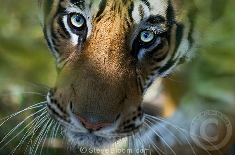 Bengal tiger looking up bandhavgarh india 003206 sb1