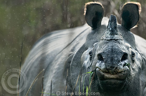 Indian rhinoceros, Kaziranga, Assam, India.