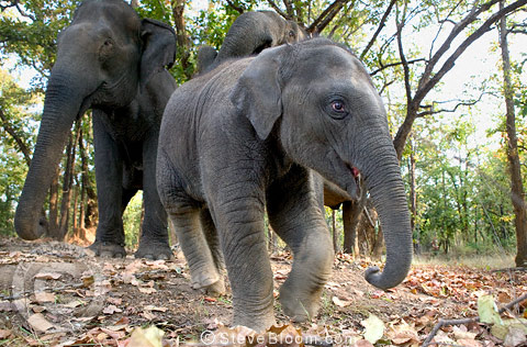 Young Indian Elephant leading his parents, Bandhavgarh, India.