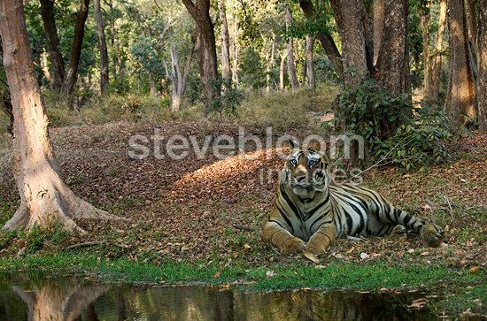 Bengal Tiger resting by the water's edge, Bandhavgarh, India.