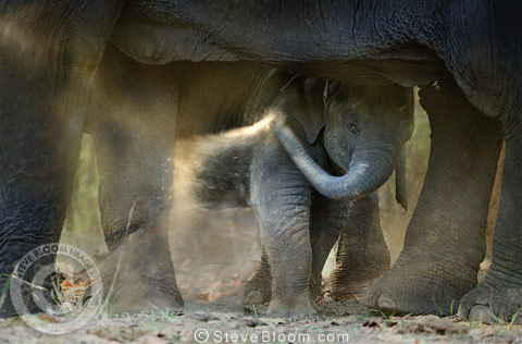 Young Indian Elephant playing at his mother's feet, Bandhavgarh, India.