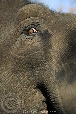 Close up of an Indian Elephant's eye, Bandhavgarh, India.