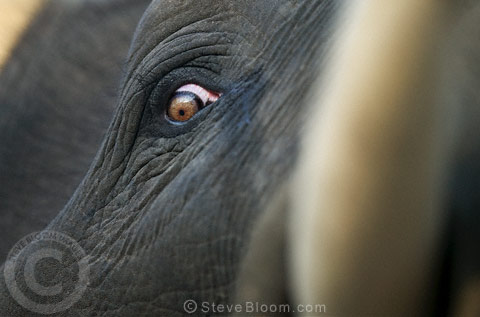 Close up of an Indian Elephant's eye and tusk, Bandhavgarh, India.