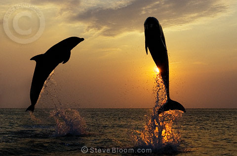 Two Bottlenose Dolphins silhouetted against the sunset, Honduras
