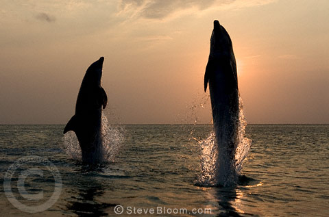 A pair of Bottlenose Dolphins leaping at dusk, Honduras