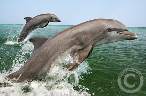 Bottlenose Dolphins leaping together out of the water, Honduras