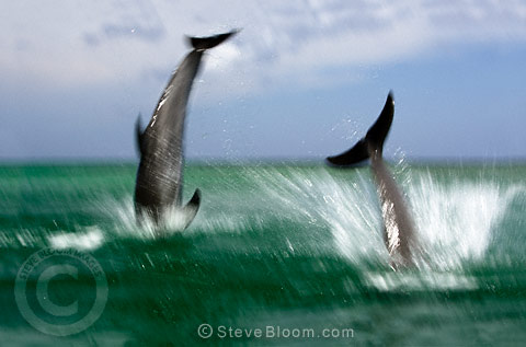 Two Bottlenose Dolphins diving into the sea, Honduras