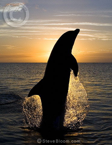 Bottlenose Dolphin leaping at sunset, Honduras