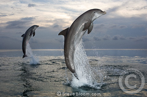 Bottlenose dolphins leaping out of the water, Honduras