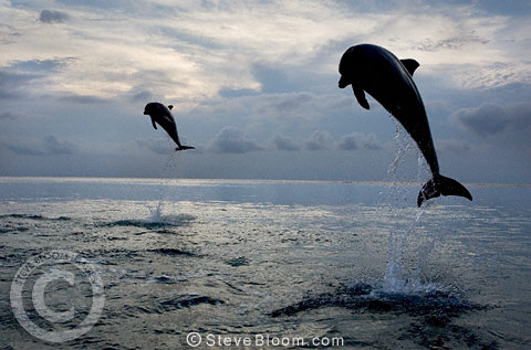 Two leaping Bottlenose Dolphins, Honduras