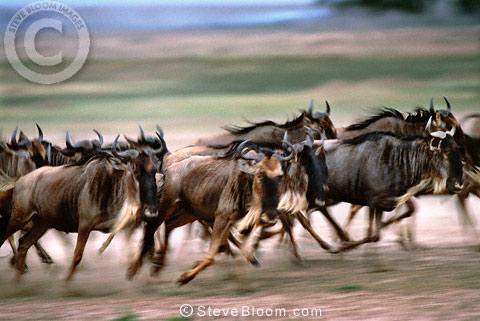 Stampeding Wildebeest Masai Mara Kenya