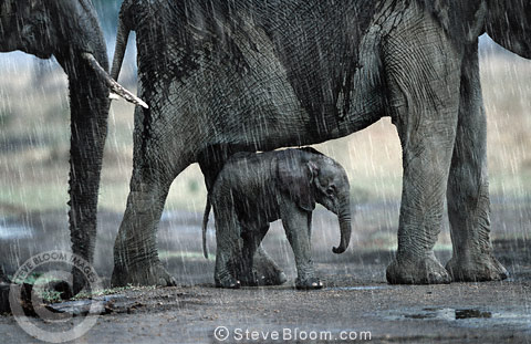 African elephants and calf in the rain, Masai Mara, Kenya