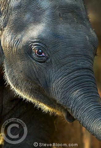 Close-up of elephant's face, Kanha, India