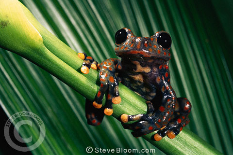 Strawberry Tree Frog (male), Cloud Forest, 2500 meters, Carchi Province, NE Ecuador