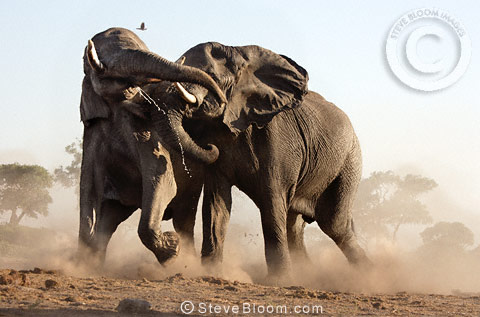 African elephants fighting, Savuti, Botswana