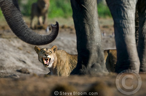 Confrontation between African lioness and elephant at waterhole, Savuti, Botswana