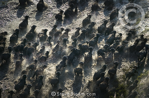 Aerial view of a herd of African buffalo running through the swamp, Okavango Delta, Botswana