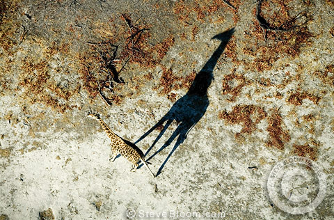 Giraffe casting shadow, photographed from the air, Okavango Delta, Botswana