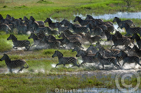 Zebra herd running through swamp,  photographed from the air, Okavango Delta, Botswana