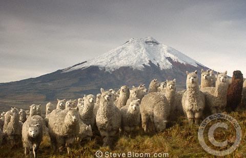 Cotopaxi Volcano (5897m) & Alpacas, Cotopaxi National Park ...