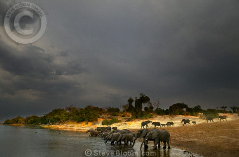 Herd of African elephants drinking beside the river, Chobe, Botswana