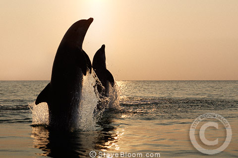Silhouette of two Bottlenose Dolphins leaping at sunset, Honduras