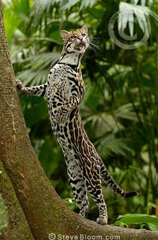 Ocelot amazon rain forest ecuador - Amazon rainforest animals wallpaper ...