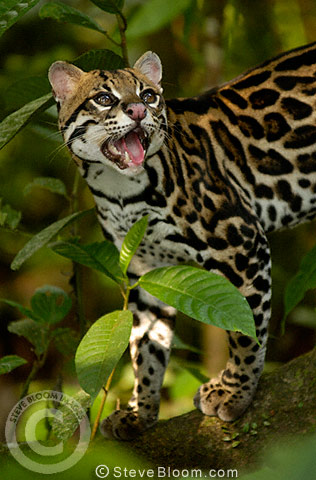 ocelot amazon rain forest ecuador