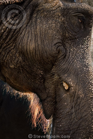 Close-up profile of Indian elephant, Jaipur, India