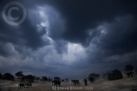 African elephants with stormy sky, Chobe, Botswana.