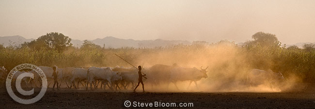Young Dassenech boys herding cattle in the evening light, Omo Delta, Ethiopia, Africa.
