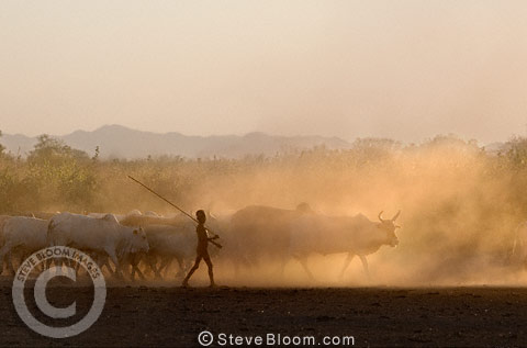 Young Dassenech boy herding cattle in the evening light, Omo Delta, Ethiopia, Africa.