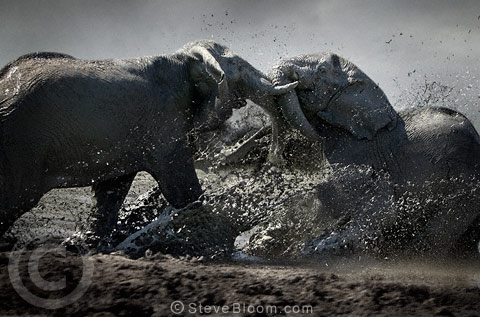 African elephant bulls fighting, Savuti, Botswana