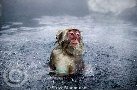 Snow monkey (Japanese macaque) shaking off water, Jigokudani National Park, Japan