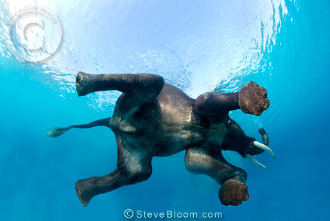 Indian elephant swimming underwater, seen from below, India