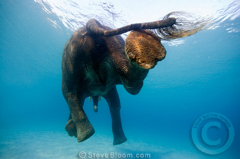 Indian elephant swimming underwater, seen from behind, India
