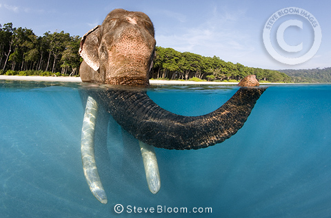 Indian elephant swimming, seen from above and below the water, India