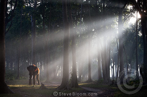 Indian Elephant In The Forest With Early Morning Mist India