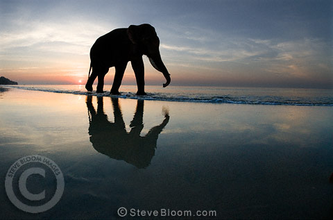 Silhouetted elephant walking on beach at sunset, casting reflection on wet sand, India