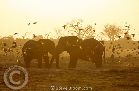 African elephants at a waterhole surrounded by birds in the early morning, Savute, Botswana