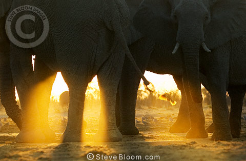 Close up of African elephants at sunrise, Savute, Botswana