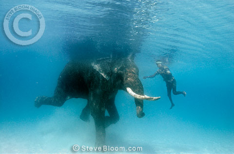 Indian elephant swimming underwater with his mahout, India