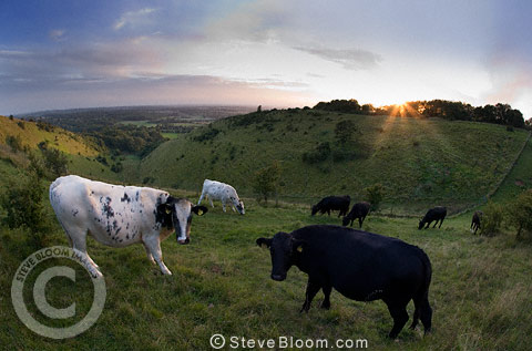 Cows on the Devils Kneading Trough at sunset, North Downs, near Wye and Brook, Kent