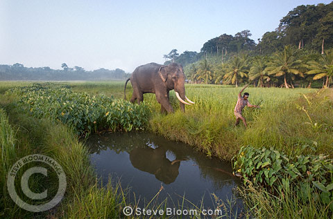 Elephant walking with mahout, Andmans, India