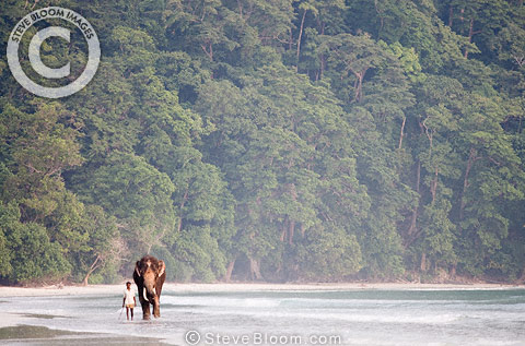 Indian elephant on beach, Andaman Islands